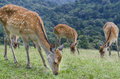 Deer in nara japan young feed on grass Stock Images