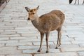 Deer in nara park japan sika cervus nippon the there are over wild sika posing for tourists Stock Photo