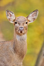 Deer portrait Stock Photography