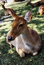 Deer resting. Royalty Free Stock Photo