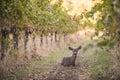 Deer rests in grape vineyard Royalty Free Stock Photo