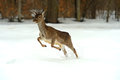 Deer running in the snow in winter Royalty Free Stock Photo