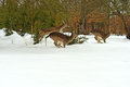 Deer running in the snow in winter Royalty Free Stock Image