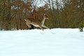 Deer running in the snow in winter Stock Photo