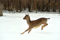 Deer running in the snow in winter Stock Photography
