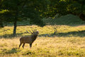 Deer at rutting season big Royalty Free Stock Images