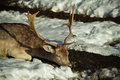 Deer sleeping a over the snow Royalty Free Stock Images