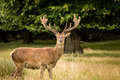 Deer stag body shot three quarter of single male with brown fur standing in a field of grass Royalty Free Stock Image
