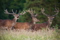 Deer stags roaming a field in summer through meadow Royalty Free Stock Photo