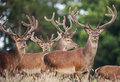 Deer stags in a summer field meadow Stock Images