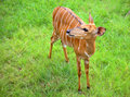 Deer a standing in the green field Royalty Free Stock Image