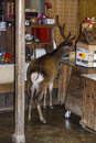 Deer steals food from a shop in nara japan Royalty Free Stock Images