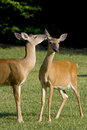 Deer telling a secret Royalty Free Stock Image