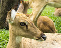 Deer the in the thailand national park Stock Photography