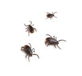 Deer tick ticks ixodes scapularis on a white background Stock Photos