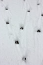 Deer tracks Royalty Free Stock Photo