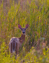Deer white tailed odocoileus virginianus watching from a field Royalty Free Stock Photo