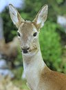 Deer wild animals of the forest in middle woods chased by hunters Stock Images
