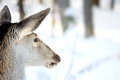 Deer in winter forest Royalty Free Stock Images
