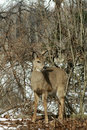 Deer in wintry forest Stock Images