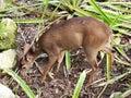 stock image of  Deer