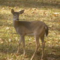 Deer in yard a young the side of my house Royalty Free Stock Photos