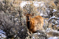 Deer in yellowstone park winter Royalty Free Stock Photo