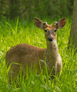 Deer young male white tailed standing in tall grass Stock Photography