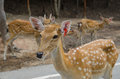 Deer in zoo axis a field axis an axis looks up a field Stock Image