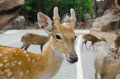 Deer in zoo axis a field axis an axis looks up a field Royalty Free Stock Photography