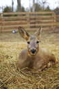 Deer in zoo resting near constanta romania Royalty Free Stock Photos