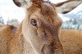 Deers Eye