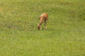 Deers during foraging on grassland Royalty Free Stock Images