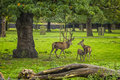 Deers Royalty Free Stock Photo