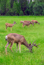 Deers group of on green meadow Stock Photos
