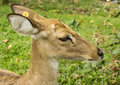 The deers head deer is on thailand national zoo Royalty Free Stock Photos