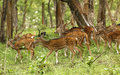 Deers in mudumalai forest tamilnadu Royalty Free Stock Photo