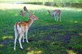 Deers at the park feeding Royalty Free Stock Photo