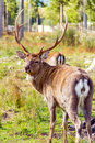 Deers in reservation of wild animals on the west of ukraine Royalty Free Stock Photo