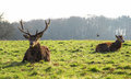 Deers s gaze a pair of staring and resting on the grass Royalty Free Stock Photo