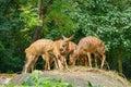 Deers in Singapore zoo Royalty Free Stock Photo
