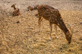 Deers young spotted eating hay Royalty Free Stock Photo