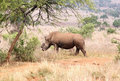 Defaced dehorned mother rhino walking off into bush after proces Royalty Free Stock Photo