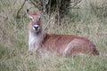 Defassa waterbuck kobus ellipsiprymnus resting Royalty Free Stock Image