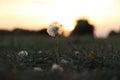 A Defiant Dandelion at Sunset