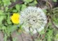 Deflorate dandelion Royalty Free Stock Photo