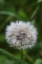 Deflorate dandelion with small water droplets Royalty Free Stock Photo
