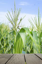 Defocus and blur image of terrace wood and Sweet Corn field in s Royalty Free Stock Photo