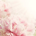 Defocus closeup of peony flower floral background view with sun light and copy space Stock Photo