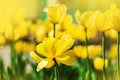 Defocus yellow tulip flowers on meadow blur summer natural background Royalty Free Stock Images